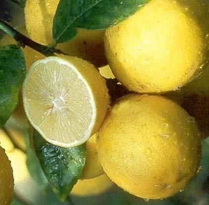 Meyer Lemon Tree Gift Set