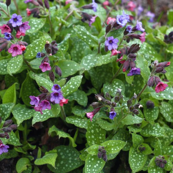 Mrs. Moon Lungwort