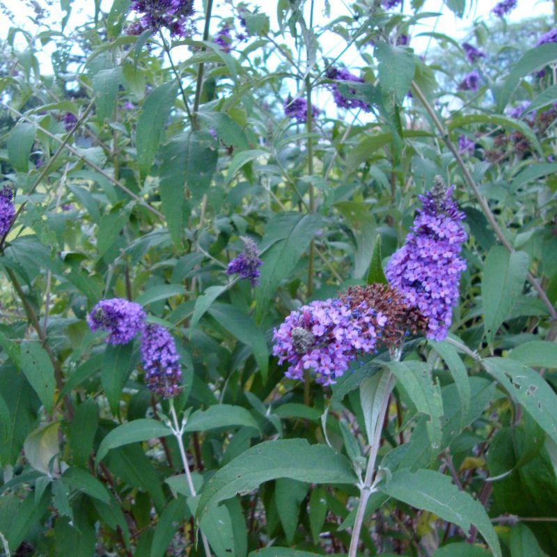 Nanho Blue Butterfly Bush