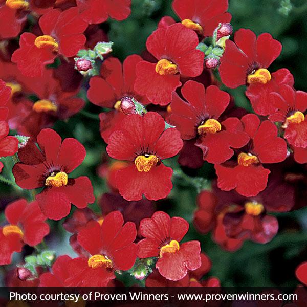 Sunsatia® Cranberry Nemesia