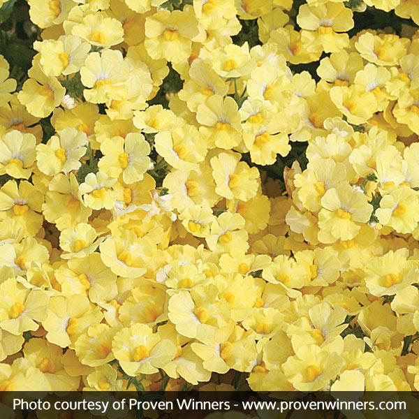 Sunsatia® Lemon Nemesia