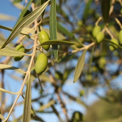 Leccino Olive Tree