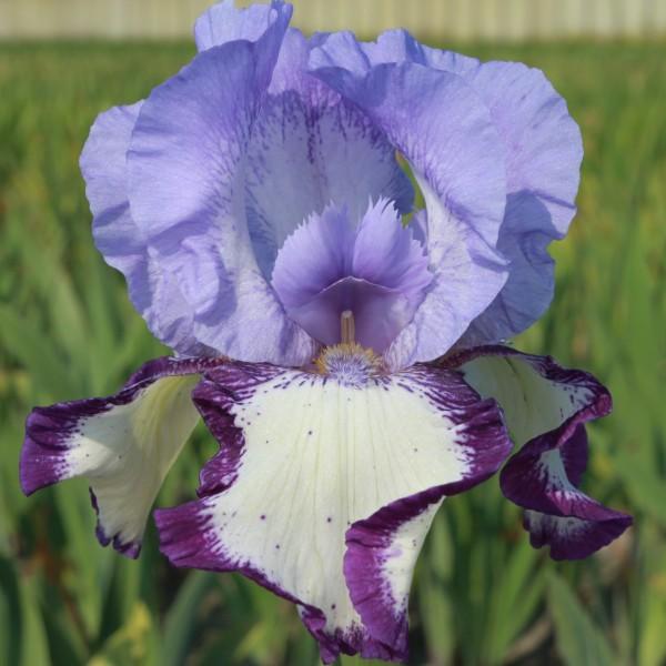 On Edge Tall Bearded Iris