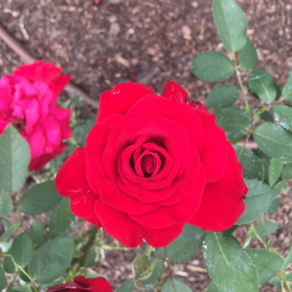Opening Night Rose