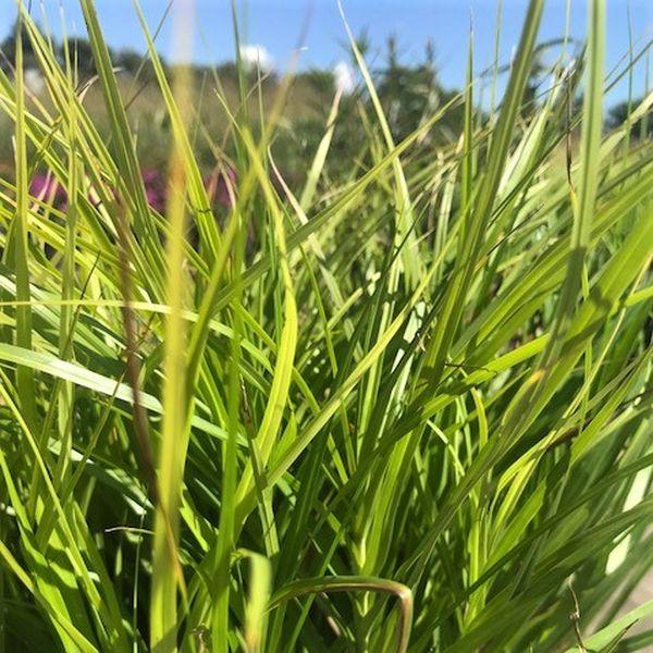 Palm Sedge Grass Image