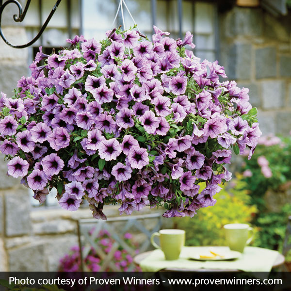 Supertunia® Bordeaux™ Petunia