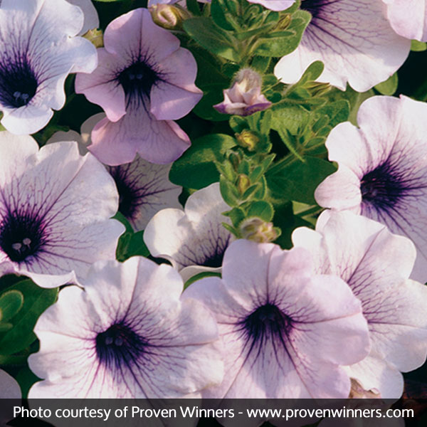 Supertunia® Mini Blue Veined Petunia