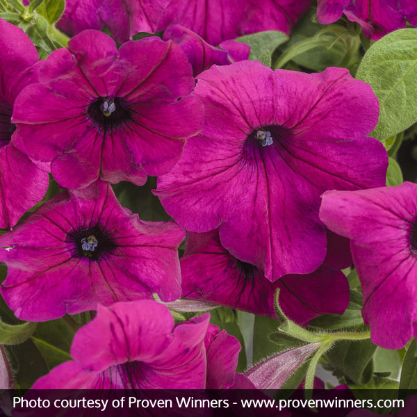 Supertunia® Royal Magenta™ Petunia