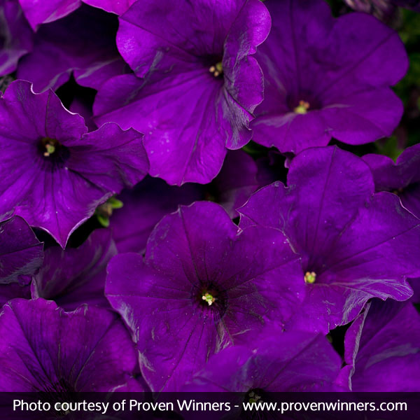 Supertunia® Royal Velvet Petunia