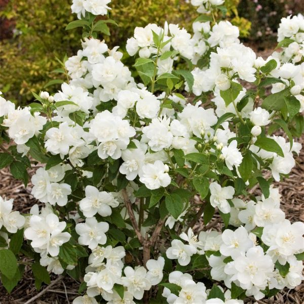 Snow White Sensation Mock Orange