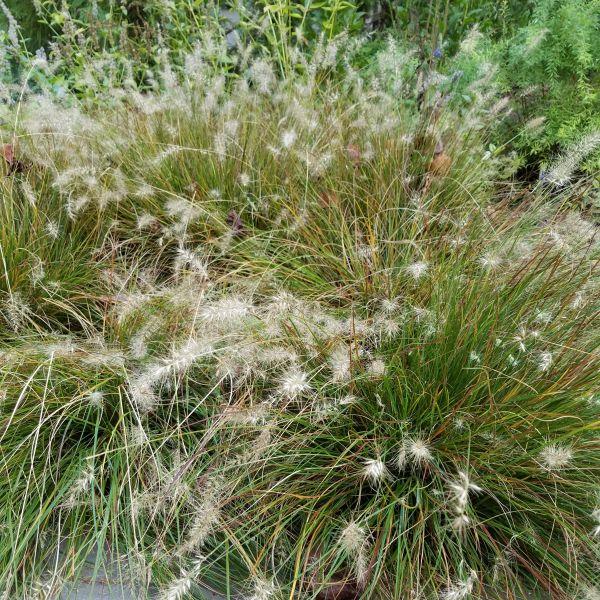 Piglet Fountain Grass
