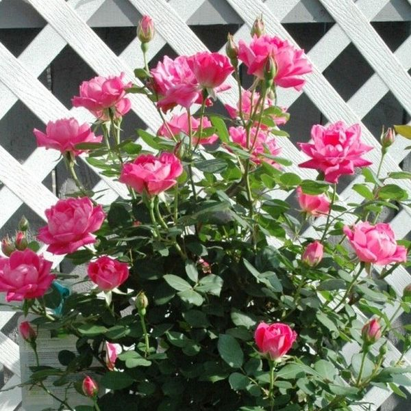 Blushing Knock Out Rose Tree