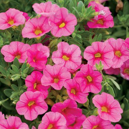 Pink Superbells Calibrachoa