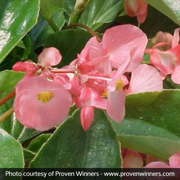 Dragon Wing® Pink Begonia