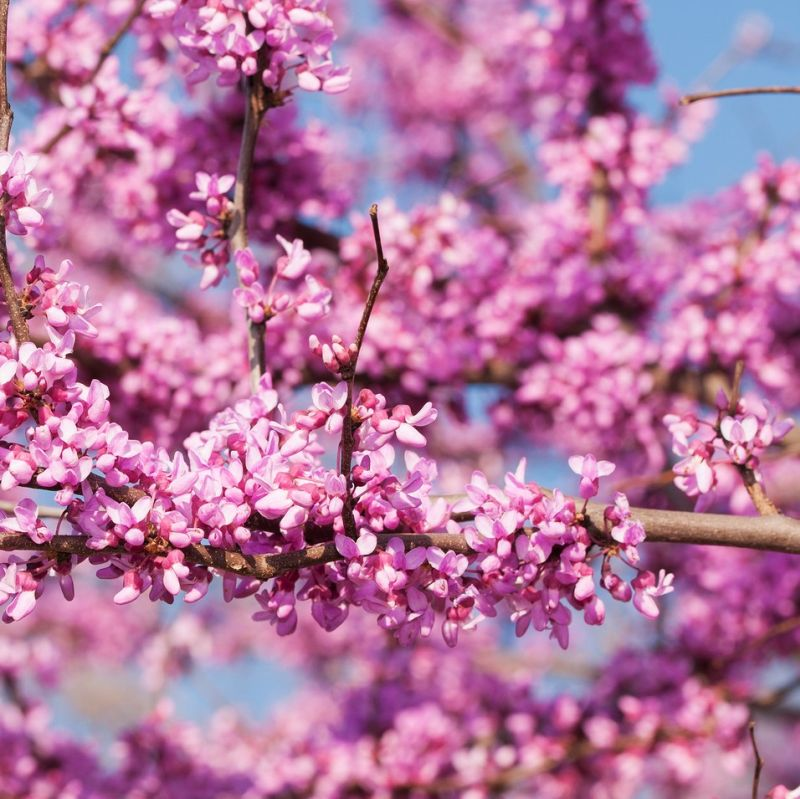 Pink Heartbreaker Weeping Redbud Tree