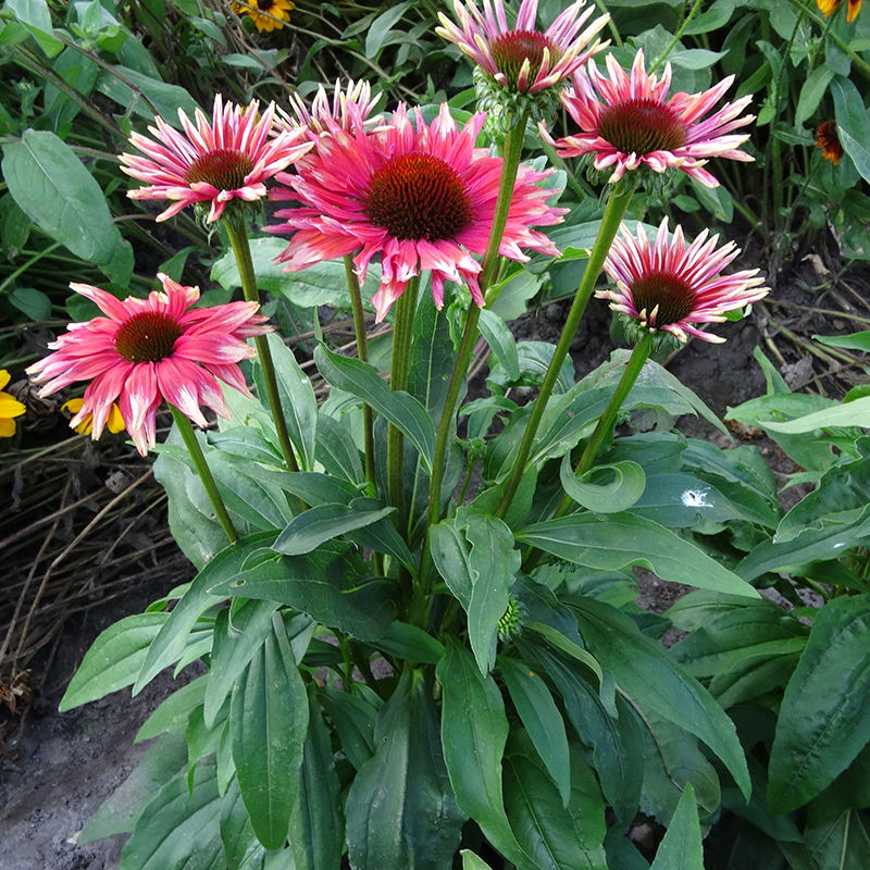 Playful Meadow Mama Coneflower