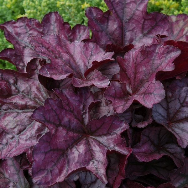 Plum Royale Coral Bells