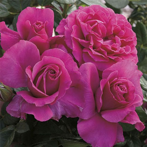 Image of Pretty Lady Rose
