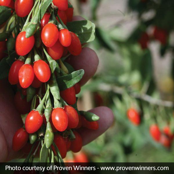 Big Lifeberry® Goji Berry