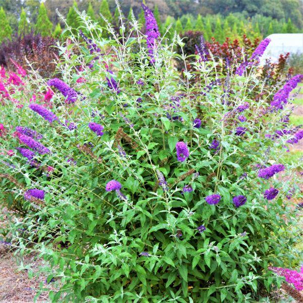 Psychedelic Sky™ Butterfly Bush