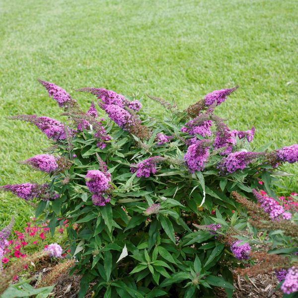 Pugster Periwinkle® Butterfly Bush