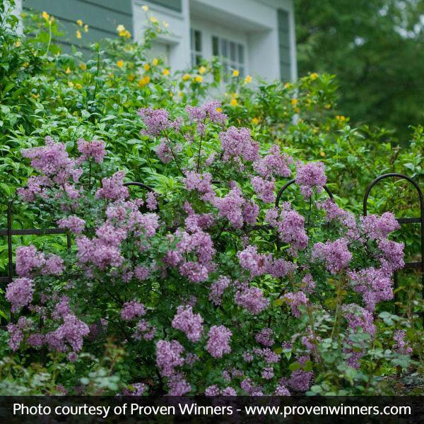 Purple flowering shrubs for sale nature hills nursery mightylinksfo