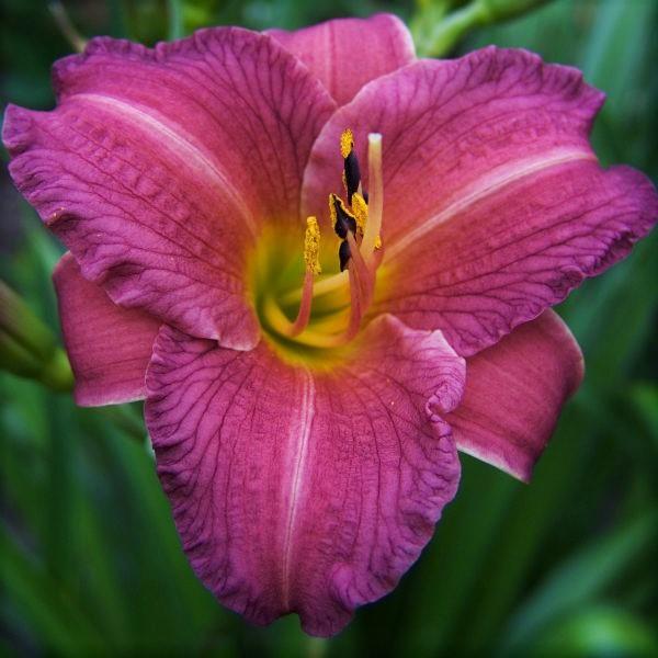 Purple D' Oro Daylily