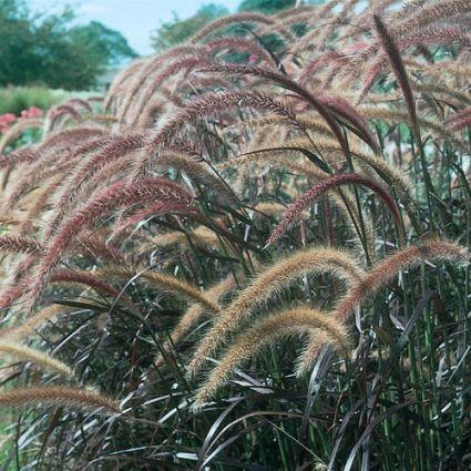 Purple Fountain Graceful Grass