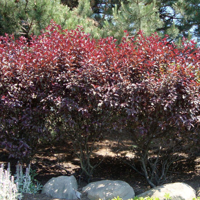 Purpleleaf Sand Cherry