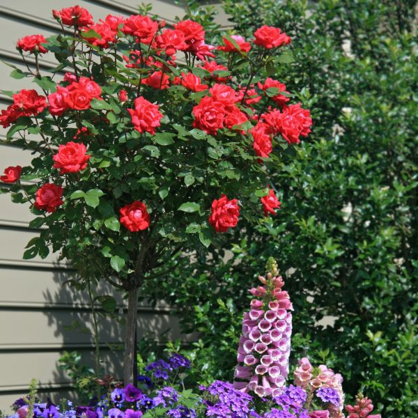 Red Double Knock Out Rose Tree