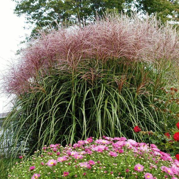 Red Silver Maiden Grass