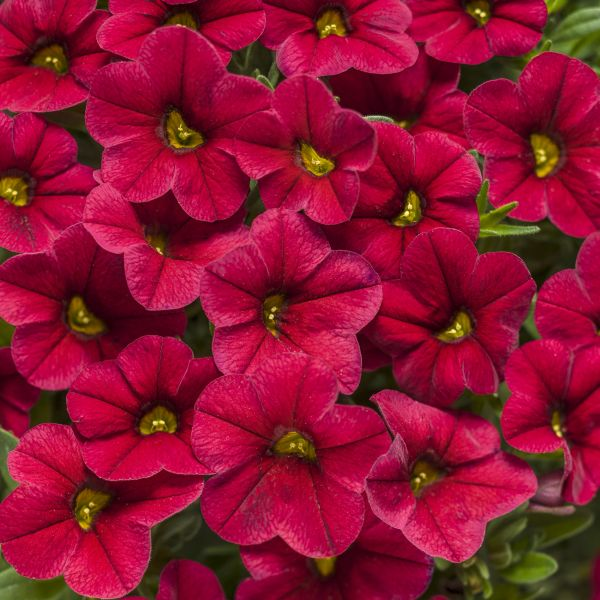 Red Superbells Calibrachoa