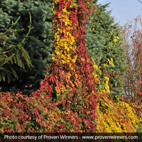 Red Wall® Virginia Creeper