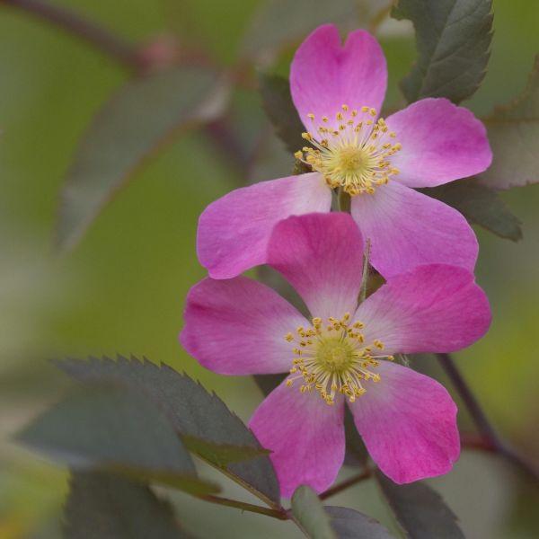 Redleaf Rose