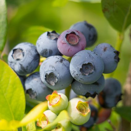 Reka Blueberry