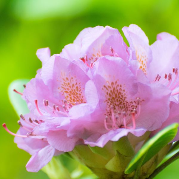 Rhododendron Vernus Image