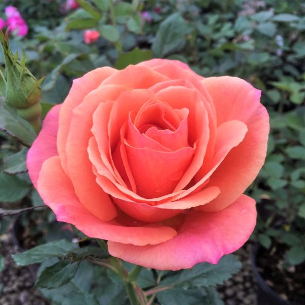 Image of Anna's Promise® Rose