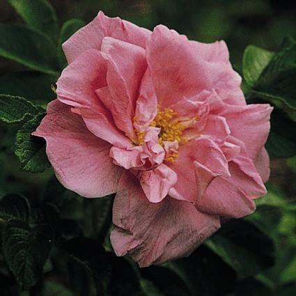 Belle Poitevine Rugosa Rose