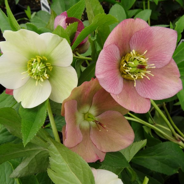 Royal Heritage Strain Lenten Rose