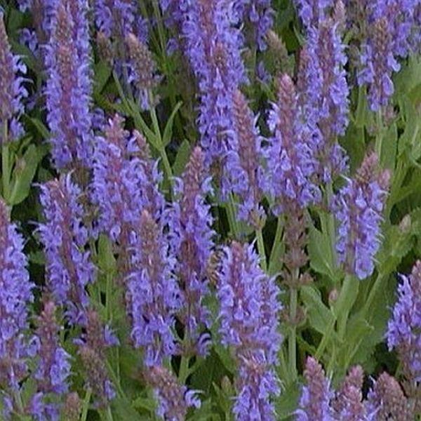 Salvia Blue Hill