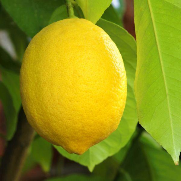 Santa Teresa Lemon