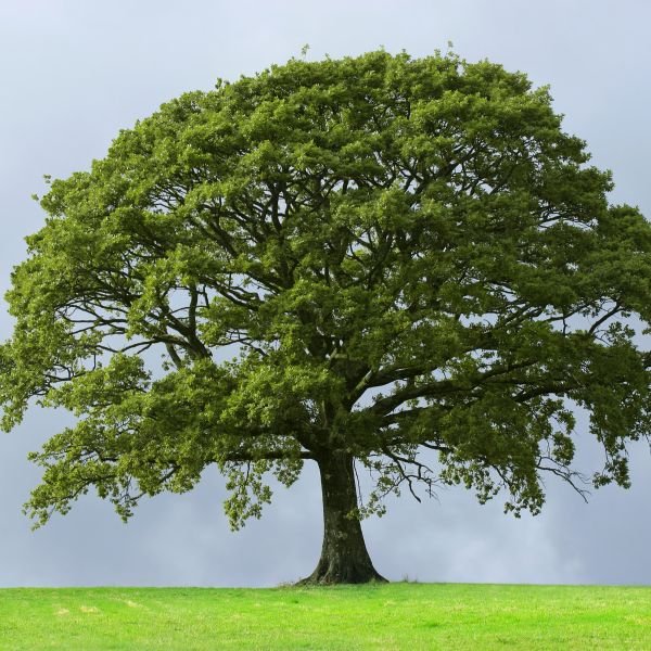 Oak Trees For Sale | Nature Hills Nursery
