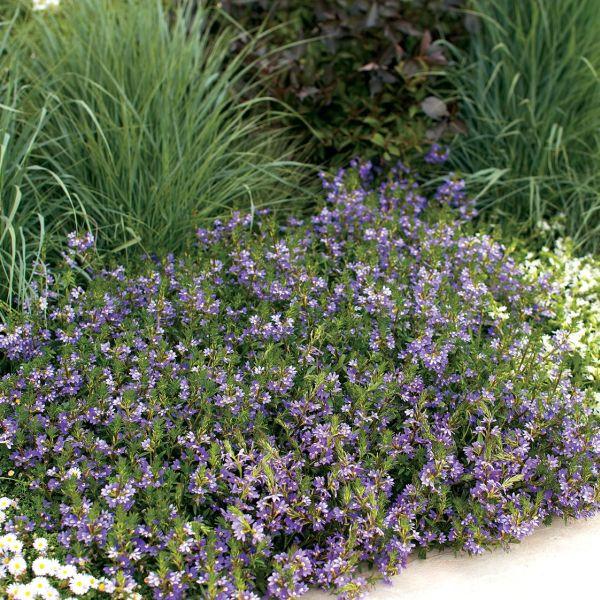 Scaevola Whirlwind Blue Fan Flower