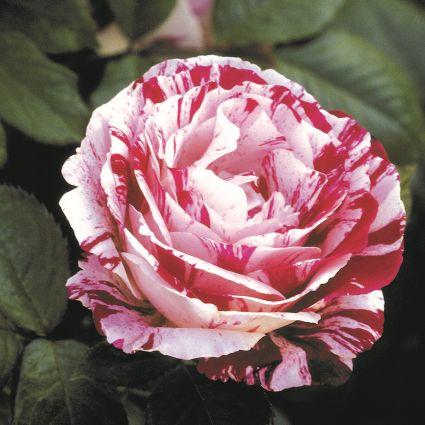 Scentimental Floribunda Rose