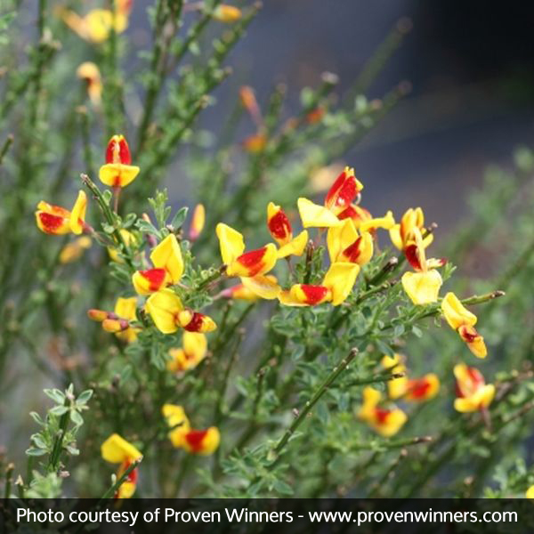 Scotch Broom Sister Disco