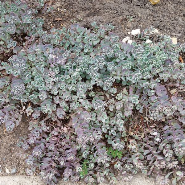 Cauticola Sedum