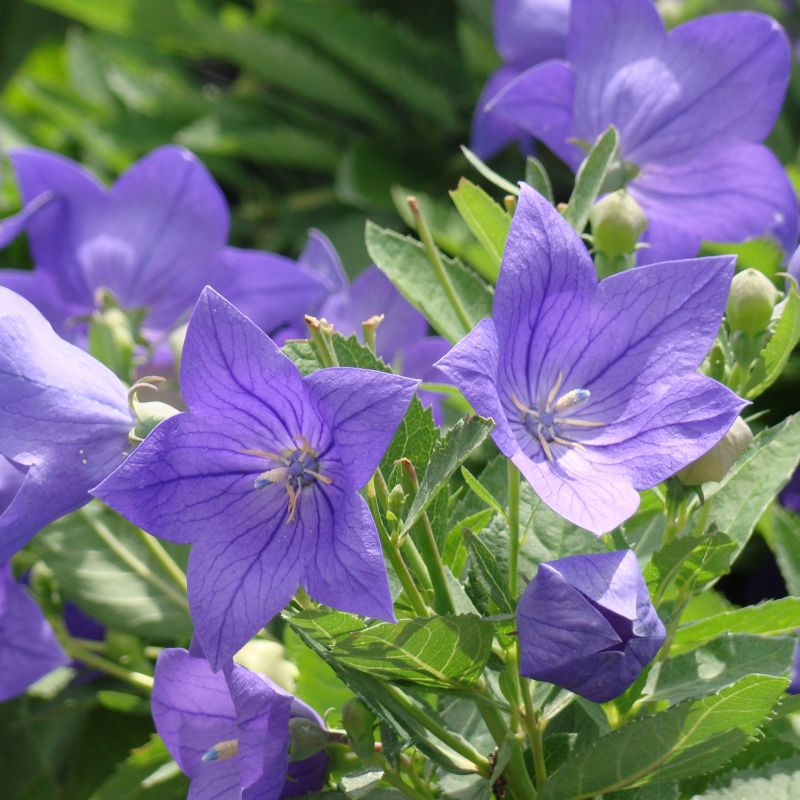 Sentimental Blue Balloon Flower