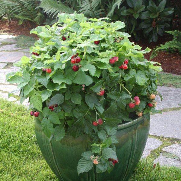Shortcake Raspberry