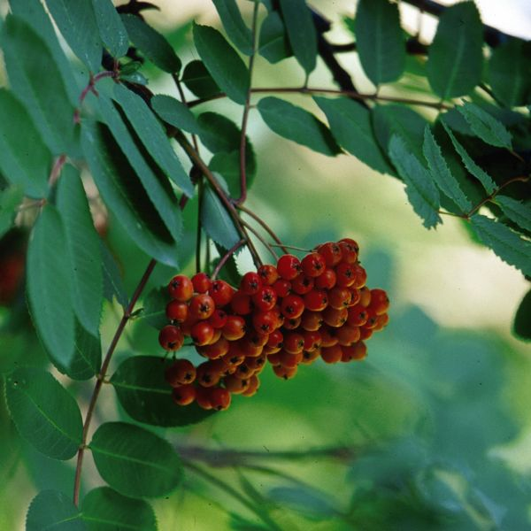 Showy Mountain Ash