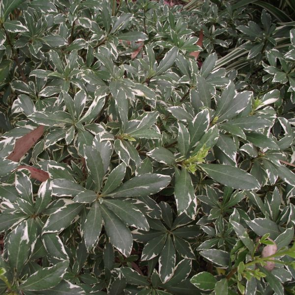 Silver King Euonymus